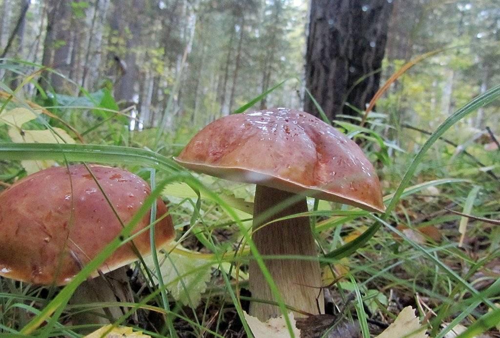 Какие грибы растут весной и где их собирать