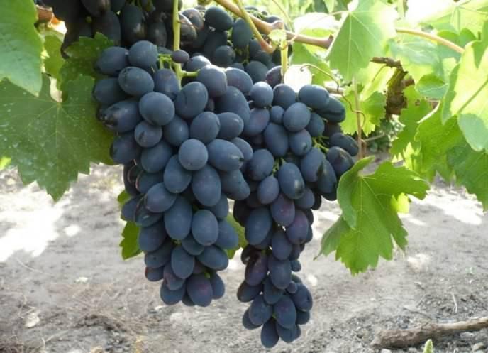 Виноград августин: отзывы, фото, описание сорта и особенности выращивания