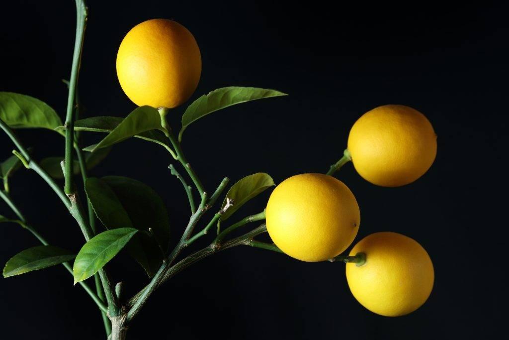 12 лучших сортов лимона для комнатного выращивания