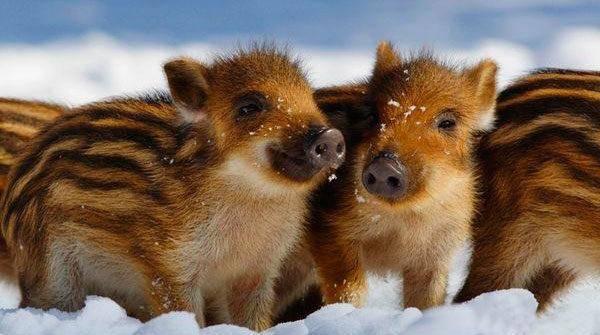 Мангалица: венгерские свиньи, описание и характеристика породы