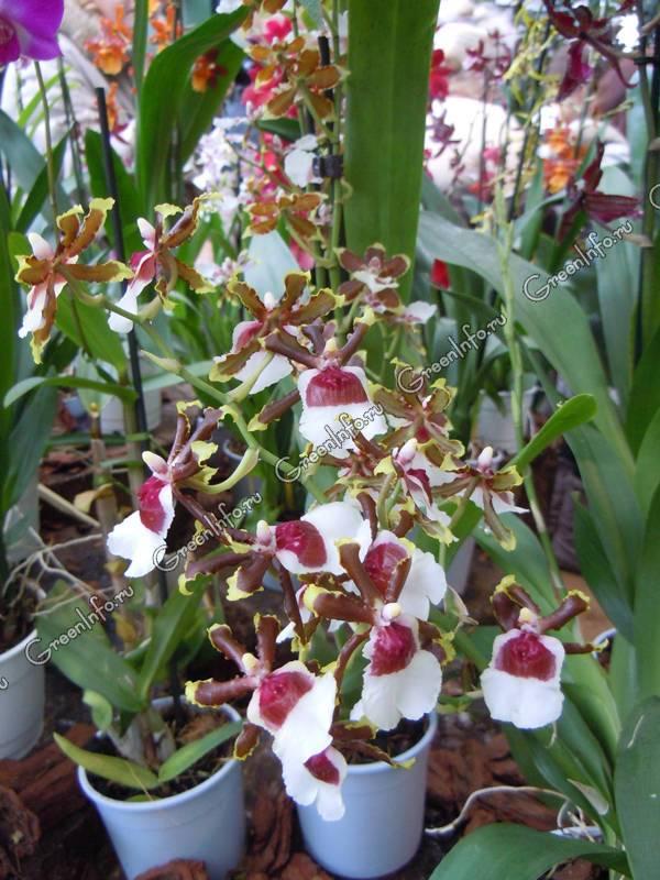 Орхидея онцидиум (oncidium), уход, полив, фото