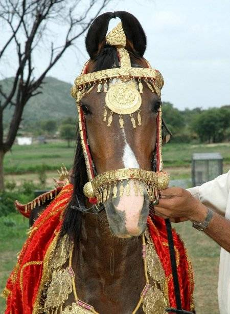 ᐉ порода лошадей марвари: история и описание необычной индийской лошади - zooon.ru