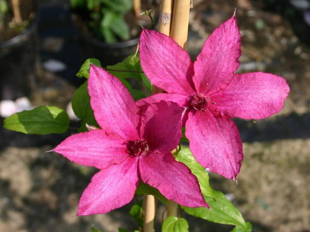 Клематис барбара диблей — как заботиться о растении