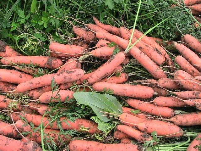 Морковь «тушон» (15 фото): описание и характеристика сорта, отзывы