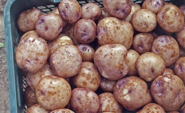 """Картофель """"синеглазка"""": описание сорта, фото, отзывы"""