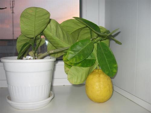 Как пересадить лимон в домашних условиях: инструкция