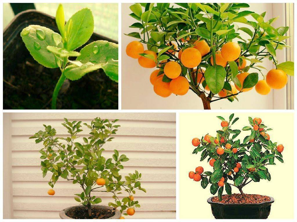 Апельсин: описание, посадка, выращивание в домашних условиях, размножение и уход (фото & видео) +отзывы