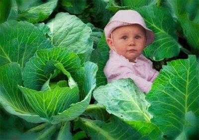 Боится ли заморозков рассада капусты