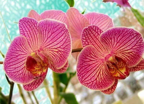 Рассказываем о том, что делать, если у орхидеи засыхают бутоны