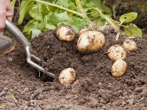 Картофель колетте – описание сорта, фото, отзывы