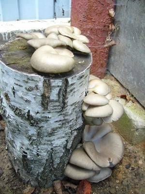 Выращивание вешенки - на даче, дома, в подвале и теплице