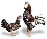 Орловская (порода кур) — википедия