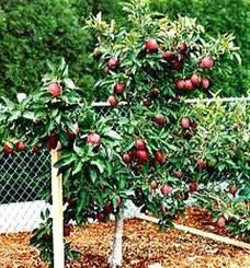 Карликовые яблони для подмосковья: сорта, отзывы, лучшие низкорослые