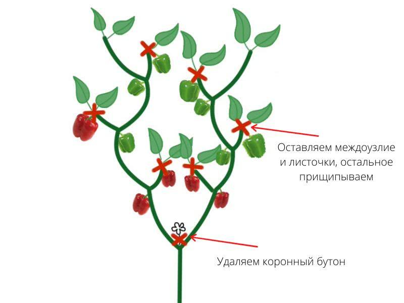 Формирование и пасынкованые болгарского перца: схемы в один и два стебля