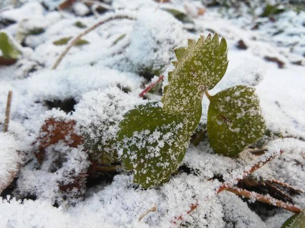 Уход за клубникой весной после зимы в открытом грунте: правила, мероприятия