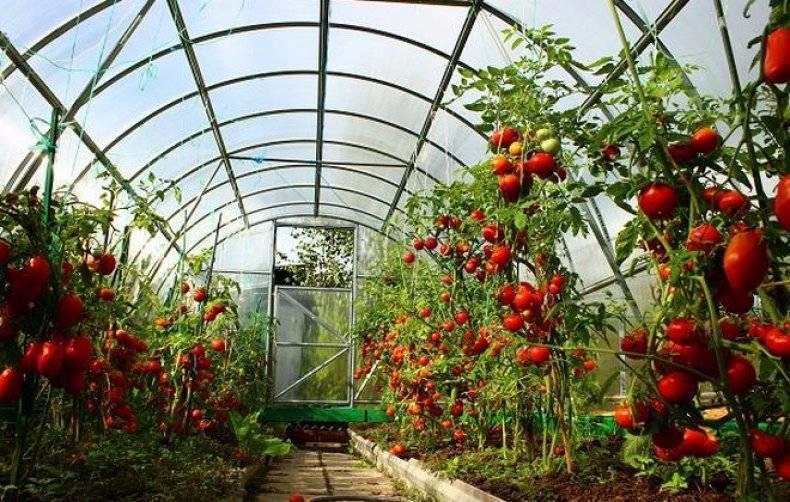 Как часто поливать помидоры в парнике для большого урожая. основные рекомендации по уходу за томатами в парниках (видео + фото)