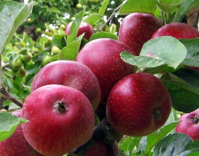 """Яблоня """"коваленковское"""": описание сорта, фото, отзывы"""