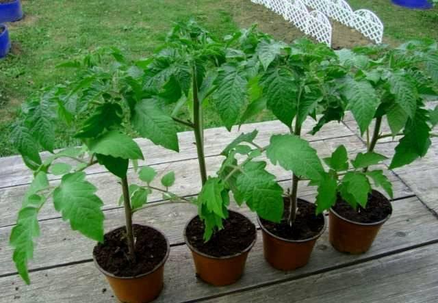 Жируют помидоры что делать | вырасти сад!