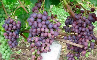 Сорт винограда краса никополя: что нужно знать о нем, описание сорта, отзывы