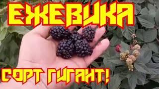 Ежевика бесшипная, особенности выращивания, в том числе в подмосковье, сибири, а также описание сортов с характеристикой и отзывами