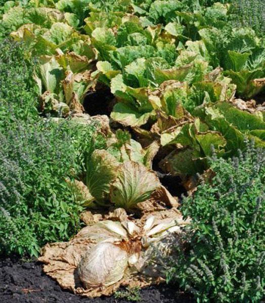 Чем обработать капусту от мошки, какие есть народные средства и химические препараты