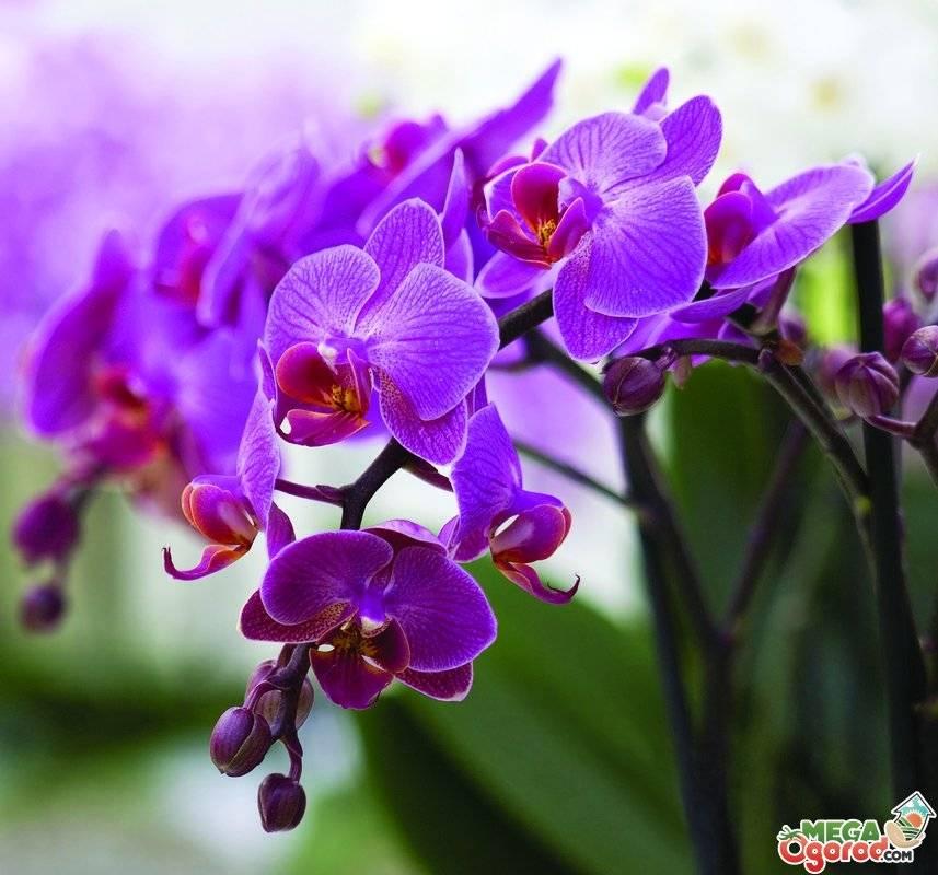 У орхидеи вялые листья - что делать в разных случаях: после пересадки, когда поникли цветы у цветущего растения и как его спасти, какой уход нужен? фото и видео от специалистов