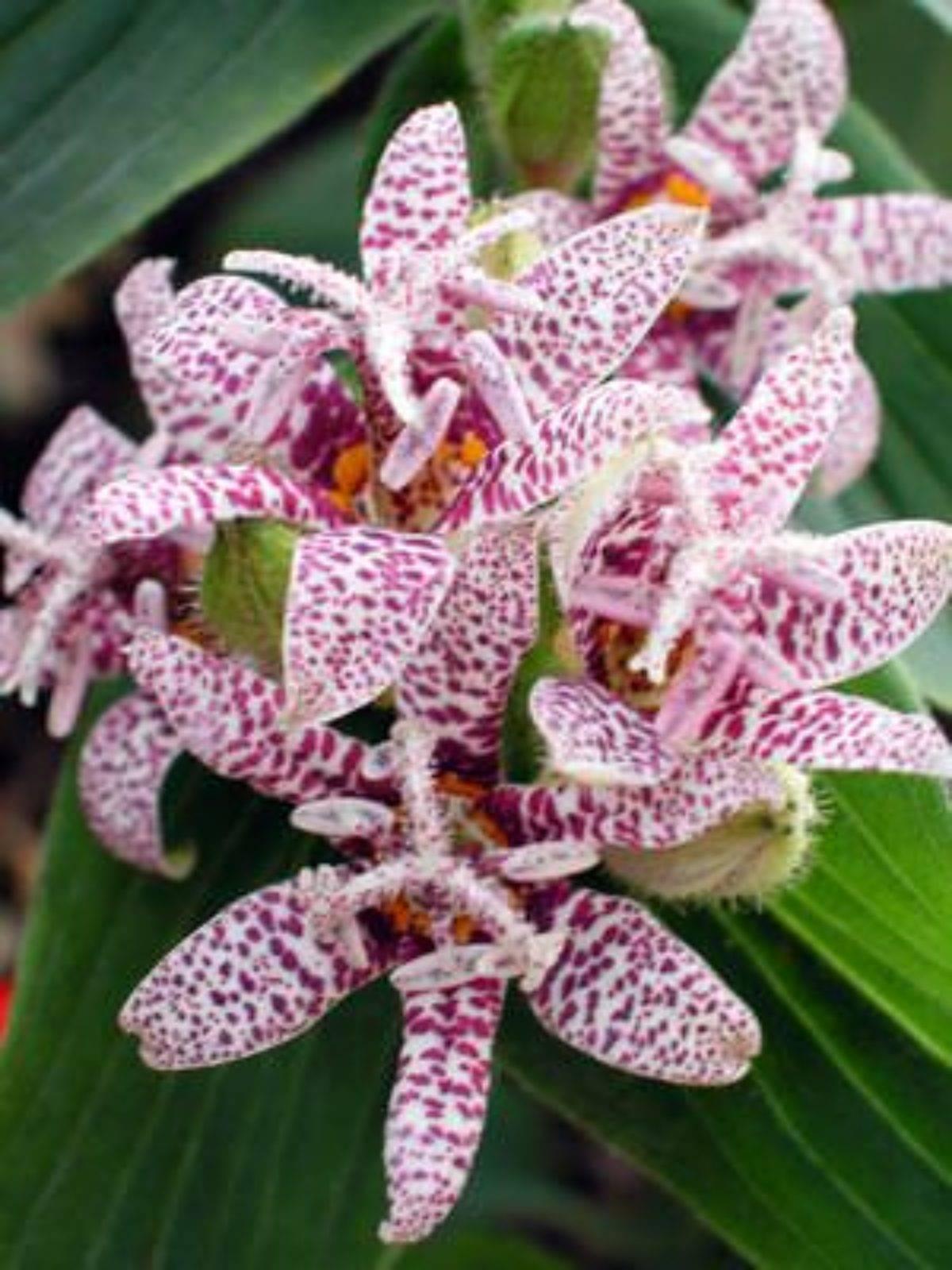 Трициртис (садовая орхидея): выращивание, посадка и уход
