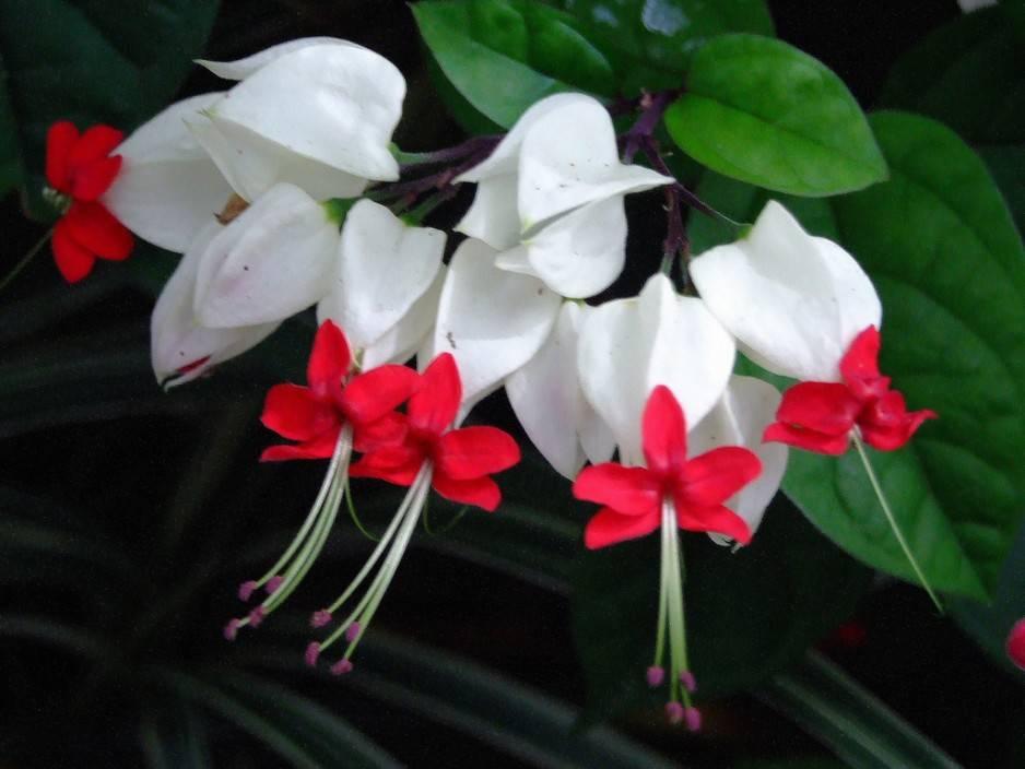 Клеродендрум прекраснейший: описание и фото растения, особенности выращивания русский фермер