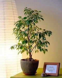 Фикусы «наташа» (31 фото): особенности ухода за фикусами бенджамина в домашних условиях. почему у растений желтеют и опадают листья?