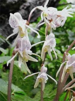 Надбородник безлистный epipogium aphyllum | красная книга россии.