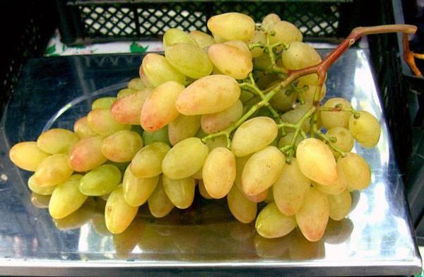 Виноград маникюр фингер: описание и характеристики сорта, выращивание и уход