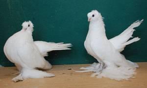 Турецкие голуби такла: фото, описание породы — selok.info