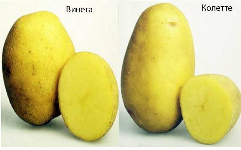 """Картофель """"венета"""": описание сорта, характеристики и фото русский фермер"""