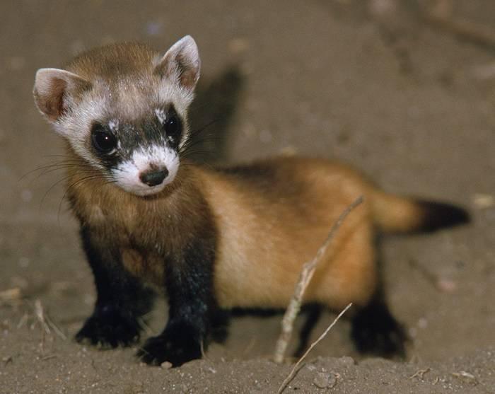 Американский (черноногий) хорек: описание, среда обитания, особенности жизни и повадки животного
