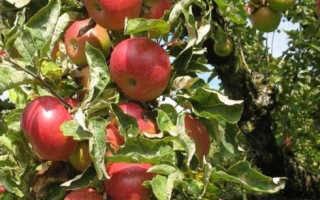 Описание сорта яблони Легенда с отзывами садоводов