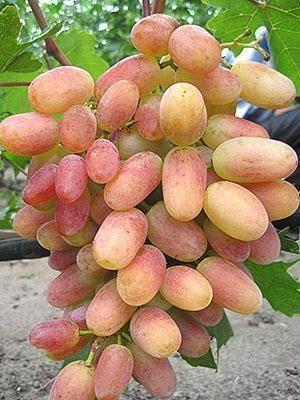 Виноград августа: описание сорта, характеристики, болезни и вредители, фото selo.guru — интернет портал о сельском хозяйстве