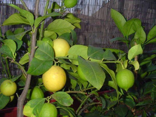 Всё о выращивании комнатных лимонов