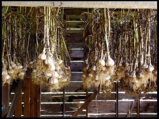 Как и когда убирать чеснок, посаженный под зиму: сроки сбора урожая и правила хранения зимнего чеснока
