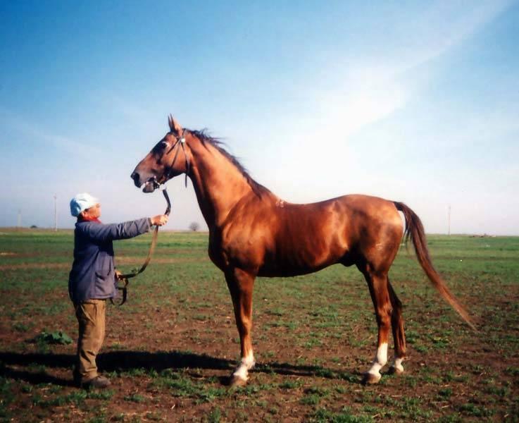 Буденновская лошадь: происхождение и характеристики породы, стандарты