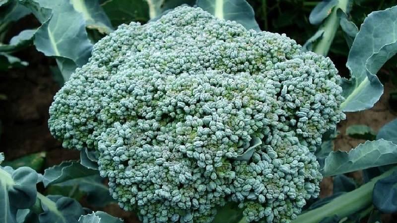 Брокколи: выращивание и уход в открытом грунте, посадка на рассаду