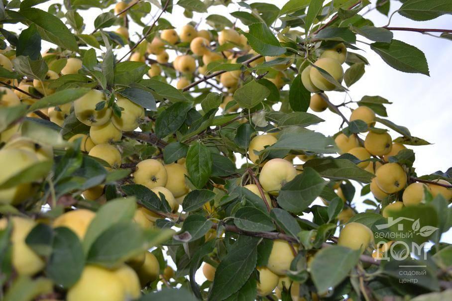 Яблоня уральское наливное: описание, фото яблок, выращивание