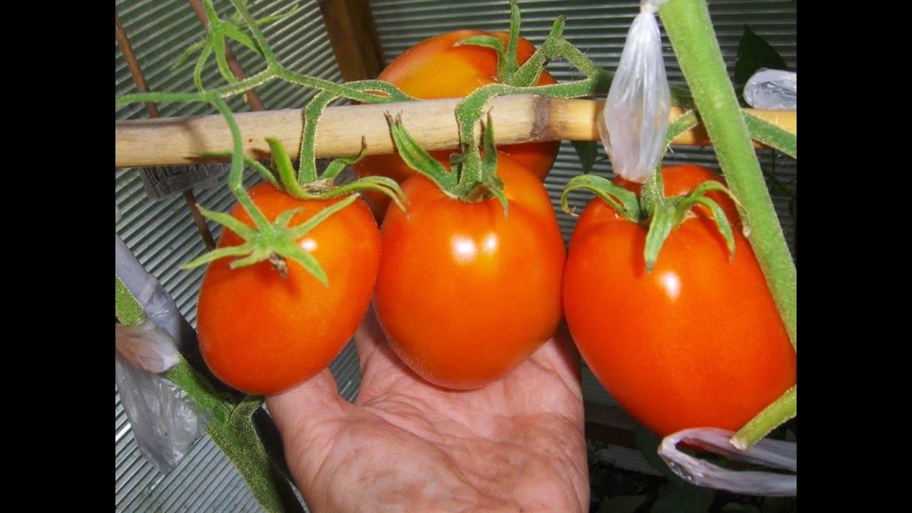 Подкормка в домашних условиях золой рассады томатов и взрослых кустов, как применять в виде раствора, и полезен ли в качестве удобрения табачный пепел для помидор? русский фермер