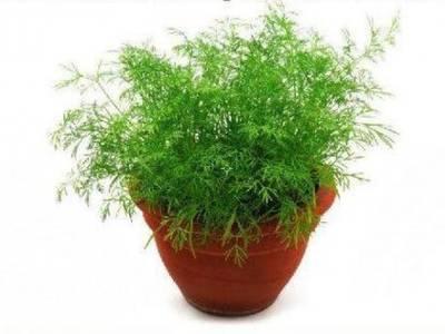 Укроп: выращивание из семян в домашних условиях (на подоконнике и балконе), пошаговая инструкция