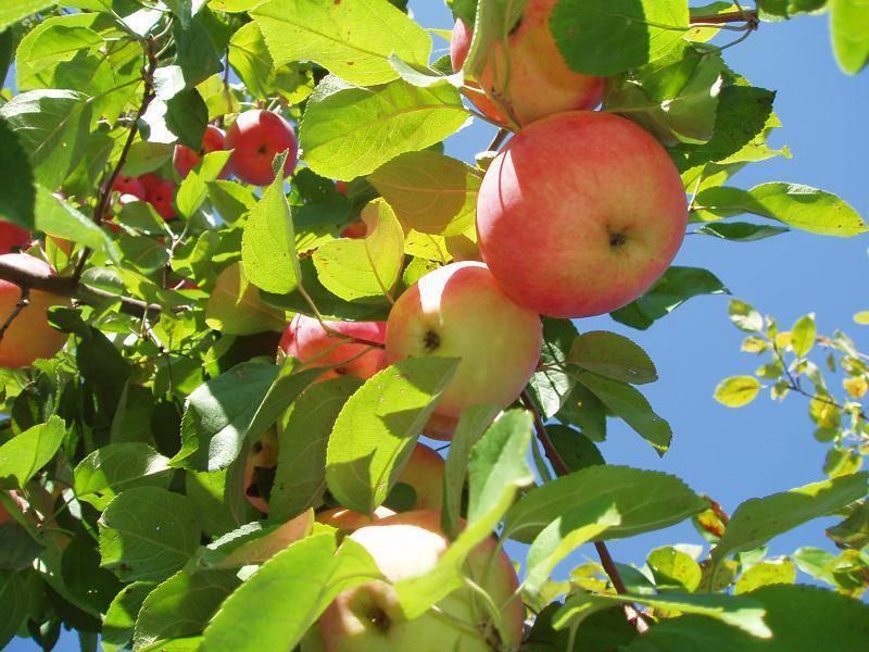 Выращивание яблони Слава Победителям