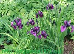 Когда лучше пересаживать ирисы, и как это правильно делать? - огород, сад, балкон - медиаплатформа миртесен