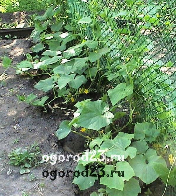 Выращивание огурцов в открытом грунте на шпалере
