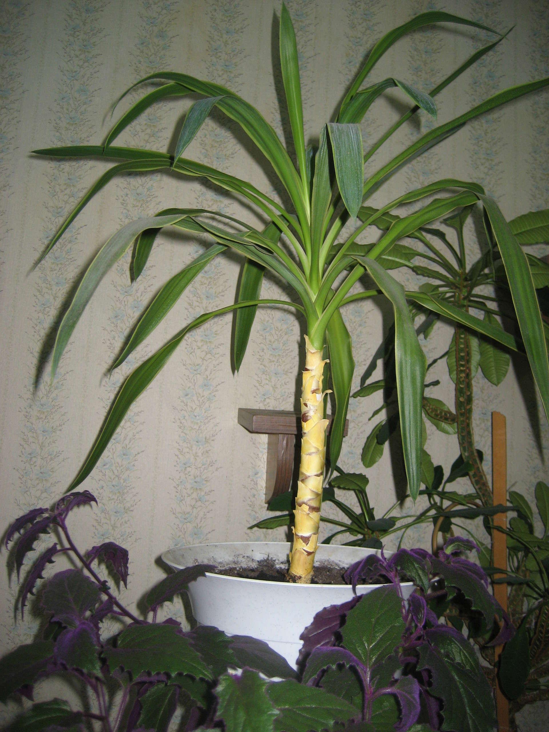 Особенности ухода за пальмой юкка в домашних условиях: полив, размножение, цветение