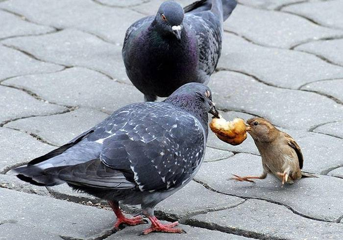 Какие болезни могут переносить голуби