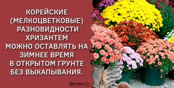Нужно ли выкапывать хризантемы на зиму