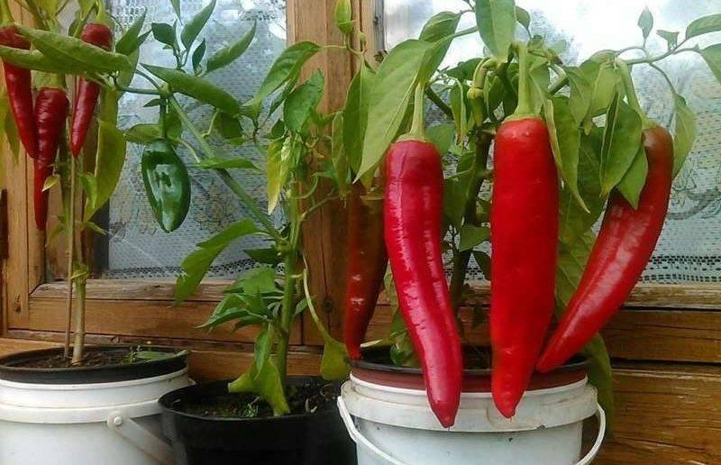 Выращиваем сладкий перец на балконе